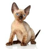 Portrait of a Devon rex kitten on white background Stock Image