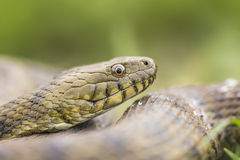 Portrait of a dice snake Stock Image