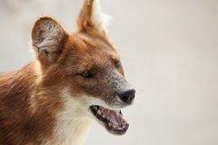 Portrait of a dingo Stock Photos
