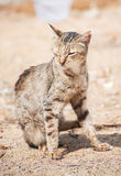 Portrait of dirty stray feral cat. Royalty Free Stock Photos