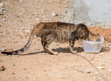 Portrait of dirty stray feral cat. Stock Images