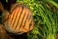 Portrait of discus fish Symphysodon discus Royalty Free Stock Photos