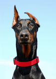 Portrait of  Doberman. Portrait of  purebred german doberman pinsher: cute watching dog Royalty Free Stock Image