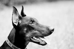 Portrait of doberman Royalty Free Stock Photography