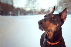 Portrait of Doberman dog in orange collar with sad eyes. stock photography