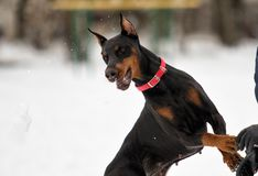Portrait of Doberman Royalty Free Stock Images