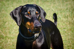 Portrait Of A Doberman Royalty Free Stock Photo