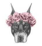 Portrait of Doberman Pinscher with floral head wreath. Royalty Free Stock Photography