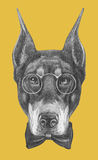 Portrait of Doberman Pinscher with glasses and bow tie. Royalty Free Stock Photos