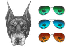 Portrait of Doberman Pinscher with glasses. Stock Photos