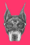 Portrait of Doberman Pinscher with glasses. Hand drawn illustration Stock Image