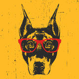 Portrait of Doberman Pinscher with glasses. Hand drawn illustration. T-shirt design. Vector Stock Photography