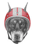 Portrait of Doberman Pinscher with Helmet. Royalty Free Stock Photography