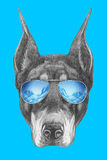 Portrait of Doberman Pinscher with mirror sunglasses. Royalty Free Stock Image