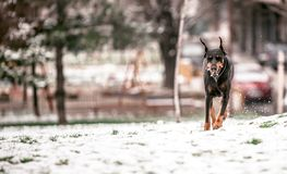 Portrait of Doberman pinscher royalty free stock photo