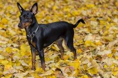 Portrait of a doberman pinscher puppy Royalty Free Stock Image