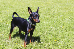 Portrait of a doberman pinscher puppy. On green grass in Sunny day Stock Photos