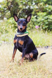 Portrait of a doberman pinscher puppy. On green grass in Sunny day Royalty Free Stock Photography