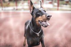 Portrait of doberman pinscher. Selective focus Stock Images