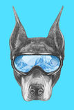 Portrait of Doberman Pinscher with ski goggles. Royalty Free Stock Photography