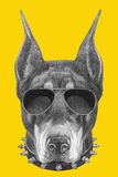 Portrait of Doberman Pinscher with sunglasses and collar. Stock Photo