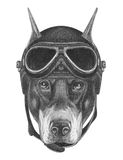 Portrait of Doberman Pinscher with Vintage Helmet. Hand drawn illustration Royalty Free Stock Photography