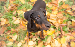 Portrait of a doberman puppy Stock Photography