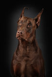 Portrait of Dobermann on black background Stock Photography