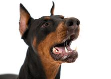 Portrait of dobermann dog Stock Photos
