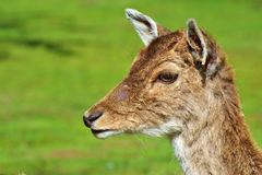 Portrait of a Doe. Portrait of a Hind in Spring on green background Stock Photos