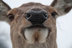 Portrait of a doe in captivity Stock Photography