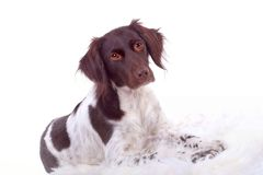 Portrait of a dog. Lovely dog with brown and white spots Royalty Free Stock Images