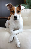Portrait of the dog. Sitting on the sofa Royalty Free Stock Photo