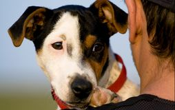 Portrait of a dog. Portrait of a jack russel terrier Royalty Free Stock Photography