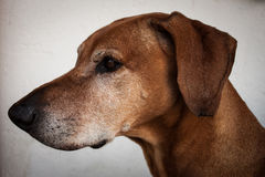 Portrait of a dog. A beautiful rhodesian ridgeback in profile Royalty Free Stock Image