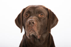 Portrait of a dog. On white background Stock Images