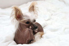 Portrait of dog Royalty Free Stock Photos