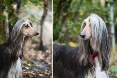 A portrait of a dog, an Afghan greyhound, a diptych. Stock Images
