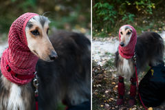 A portrait of a dog, an Afghan greyhound, a diptych. Royalty Free Stock Photo