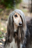 A portrait of a dog, an Afghan greyhound. The dog is like a man. Stock Photo