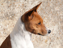 Portrait of dog against pebble-dash wall Royalty Free Stock Photography