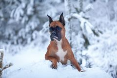 Portrait of dog on background of Christmas trees. Royalty Free Stock Photography