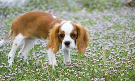 Portrait of a dog on a background of green grass. Cavalier King Charles Spaniel puppie dog stock photos