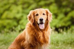 Portrait of a dog. Portrait of a beautiful dog outdoors stock images