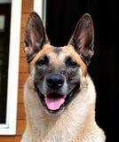 Portrait dog. Belgian Malinois dog close up portrait Stock Images