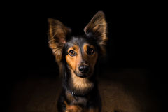 Portrait of a dog on a black background. Black and brown mix breed dog or canine with perky ears and big brown eyes sitting on wooden floor in dark, dramatic Royalty Free Stock Photography