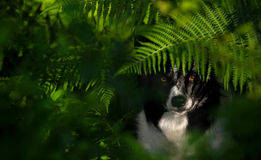 Dog beneath the Ferns. Portrait of Dog Black and White Border Collie beneath the Leaves of Ferns stock photos