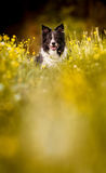 Portrait of the Dog - Black and White Border Collie - Lying on the Meadow in Yellow Blooming Buttercups Stock Photos