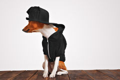 Portrait of a dog in black zippered hoodie. Cool looking brown and white dog in cool black hoodie and baseball cap with mesh back, looking on sides, isolated on Stock Images
