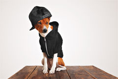 Portrait of a dog in black zippered hoodie. Street fashioned brown and white dog in cool black hoodie and trucker cap with mesh back on a rustic wooden table Royalty Free Stock Photo